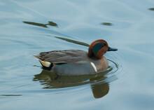 Closeup Of A Eurasian Teal Duck Swimming At A Lake