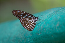 Blue Glassy Tiger (Ideopsis Vulgaris) A Blue Glassy Tiger Butterfly Resting On A Pale Blue Painted Rock