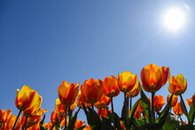 Orange Tulips Against A Blue Sky With Sun And Backlight. Julianadorp, The Netherlands.
