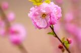 Wiosenny kwiat wiśni pikłowanej