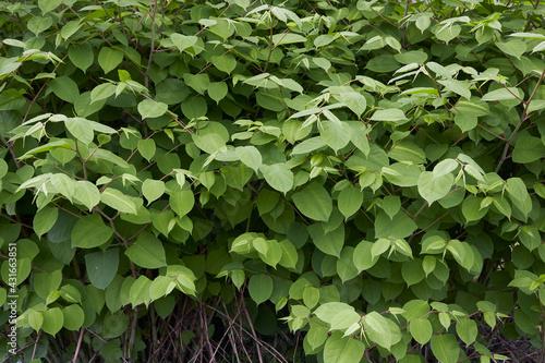 Fotografiet Reynoutria japonica