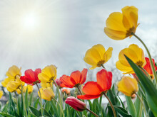 Red And Yellow Tulips Swaying In The Wind Against A Cloudy Blue Sky