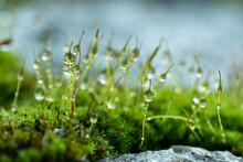 Close-up Of Water Droplets On The Moss. Green Bokeh Background From Nature Forest.