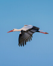 European Stork Is Flying On The Filed Somewhere In Germany