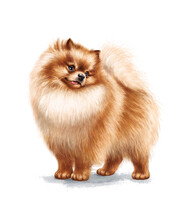 Сute Pomeranian Dog. Funny Spitz Showing Tongue. Hand-drawn Illustration Of The Handsome Puppy On White Background. Good For T-shirts, Posters, Birthday. Ideal For Printing And Card Making.