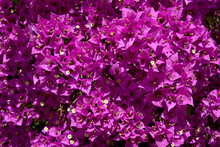 Background Of Red Bougainvillea Spectabilis Flowers