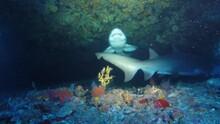 Ragged Tooth Shark / Sand Tiger Shark Swims Overhead
