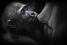 Close-up Of A Baby Gorilla Greedily Pulling Back Its Mother's Tits While Extracting Milk, A Growing Baby