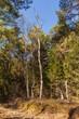 Alter Baumbestand mit verdorbene  Birken im Ainringer Moor