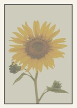 Illustration Of Sunflower With Copy Space In Black Frame On Beige Background