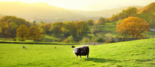 Sheep Marked With Colorful Dye Grazing In Green Pastures. Adult Sheep And Baby Lambs Feeding In Lush Meadows Of England.