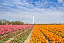 Pink And Orange Tulips And A Wind Turbine In Noordoostpolder