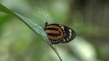 Tiger Mimic Queen Butterfly Sit On Green Leaf In Lowland Amazon Rainforest Po