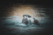Canada Goose Fight In A Pond In The Park