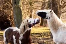 Two Horses Pulling Funny Faces