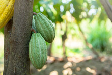 Green And Yellow Cocoa Pods Grow On The Tree (Theobroma Cacao)