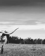 Longhorn Cow In A Field
