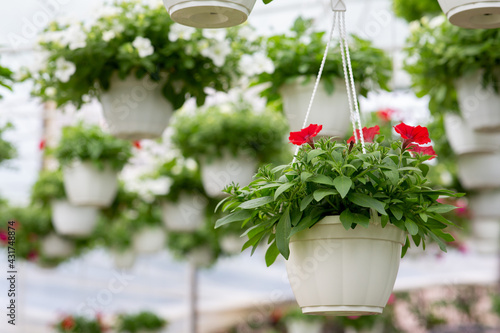 Fotografiet Large glass greenhouse with flowers indoor and cultivation plants