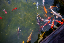 Japanese Koi Fish In The Pond Swim Near The Wooden Bridge Over The River
