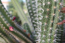 Background Of Green Blooming Cactus