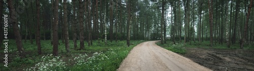A single lane rural road through the twilight evergreen pine forest. Latvia. Atmospheric landscape. Bicycle, sport, nordic walking, eco tourism, environment