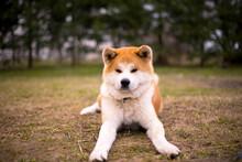 Paprika Akita Inu  Dog Portrait  In The Park