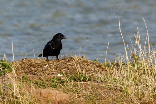 Fototapeta premium a black raven on the ground