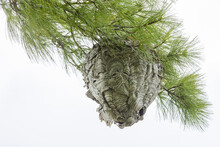A Large Wasp Nest In A Pine Tree Seen From Below.