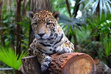 Jaguar Lying On A Tree Trunk, Belize Zoo