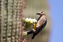 Hangin' Out With A Gila Woodpecker