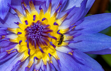 Bee On A Flower With Stamens Of A Waterlily Pistil, Macro View. Colorful Lotus Flower.