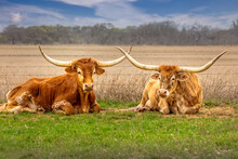 A Couple Of Texas Longhorn Cattle Relaxing In The Grass With Crossed Horns