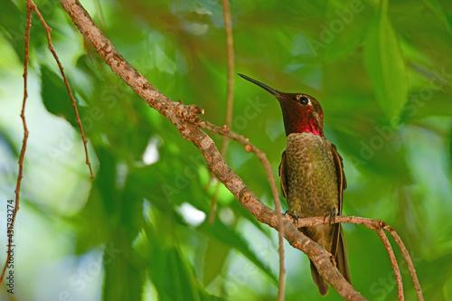 Naklejka premium Anna's Hummingbird