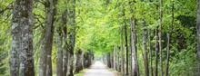 An Archway Of The Single Lane Country Road And Tall Green Trees. Sunlight Through The Tree Trunks. Fairy Summer Landscape. Idyllic Forest Scene. Latvia