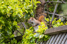 Female American Red Squirrel Sitting On An Old Fence
