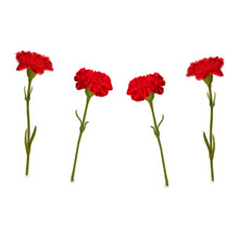 Illustration. Red Carnation. Two Red Carnations Mirrored.