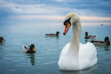 Mute Swan In Winter In The Company Of Ducks On Lake Balaton, Swan Of Balaton From Close Up, European Wildlife