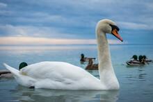 Cygnus Olor, Mute Swan On Lake Balaton, Swan From Closeup