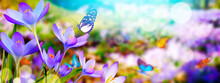 Crocus Flowers In A Soft Focus On A Sunny Spring Day With Butterfly
