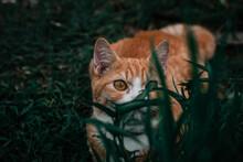 Orange Cat Peeping Behind The Bush Cute Cat