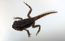 Dorsal View Of The Back Of A Transforming Toadlet With A Tadpole Tail But The Four Limbs Of An Adult.  Bumps Are Already Appearing On The Skin Of The Toad That Will Become Its Poison Glands.