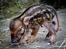 Red River Hog Piglet