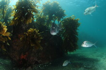 Large Rock Covered With Brown Kelp Ecklonia Radiata On Flat Sandy Bottom With Australasian Snappers Swimming Around It.