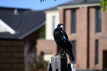 An Australian Magpie Perched Atop A Dirty And Worn Fence Post, Looking To Its Left, In Front Of Houses And A Yellow Brick Wall
