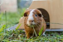 Guinea Pig Eating A Piece Of Grass.