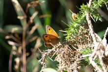 Gatekeeper (Pyronia Tithonus) A  Gatekeeper Butterfly Feeding On Gorse Plants