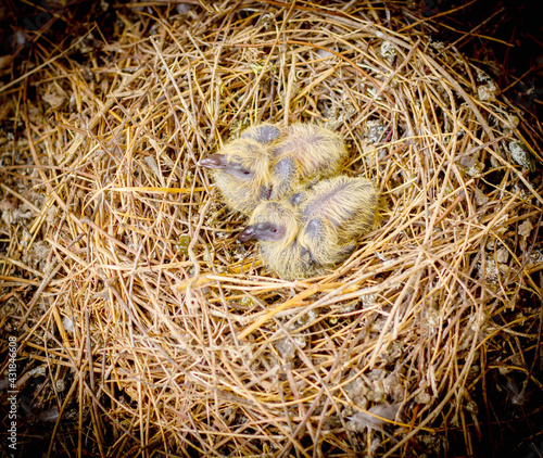 Naklejka premium Close up two baby birds in the nest