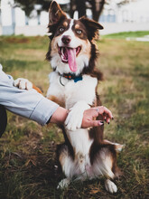 Border Collie Of Light Brown, Dark And White Color.  Young Man Whose Name Is Archie, Playing And Posing In A Forest.