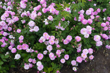 Numerous Small Pink Flowers Of Rose In May