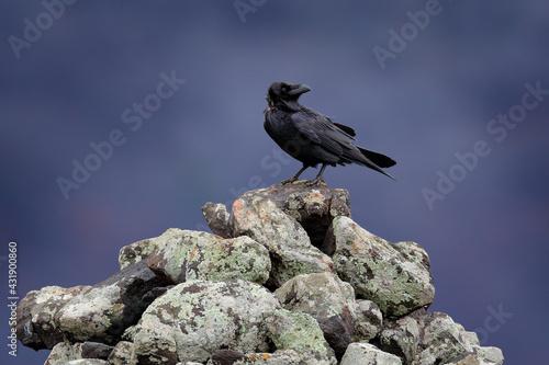 Naklejka premium Raven, foggy day. Black raven sitting on the stone. Stone with lichen and black bird. Raven on the rock. Wildlife scene from nature. Bird with big bill.